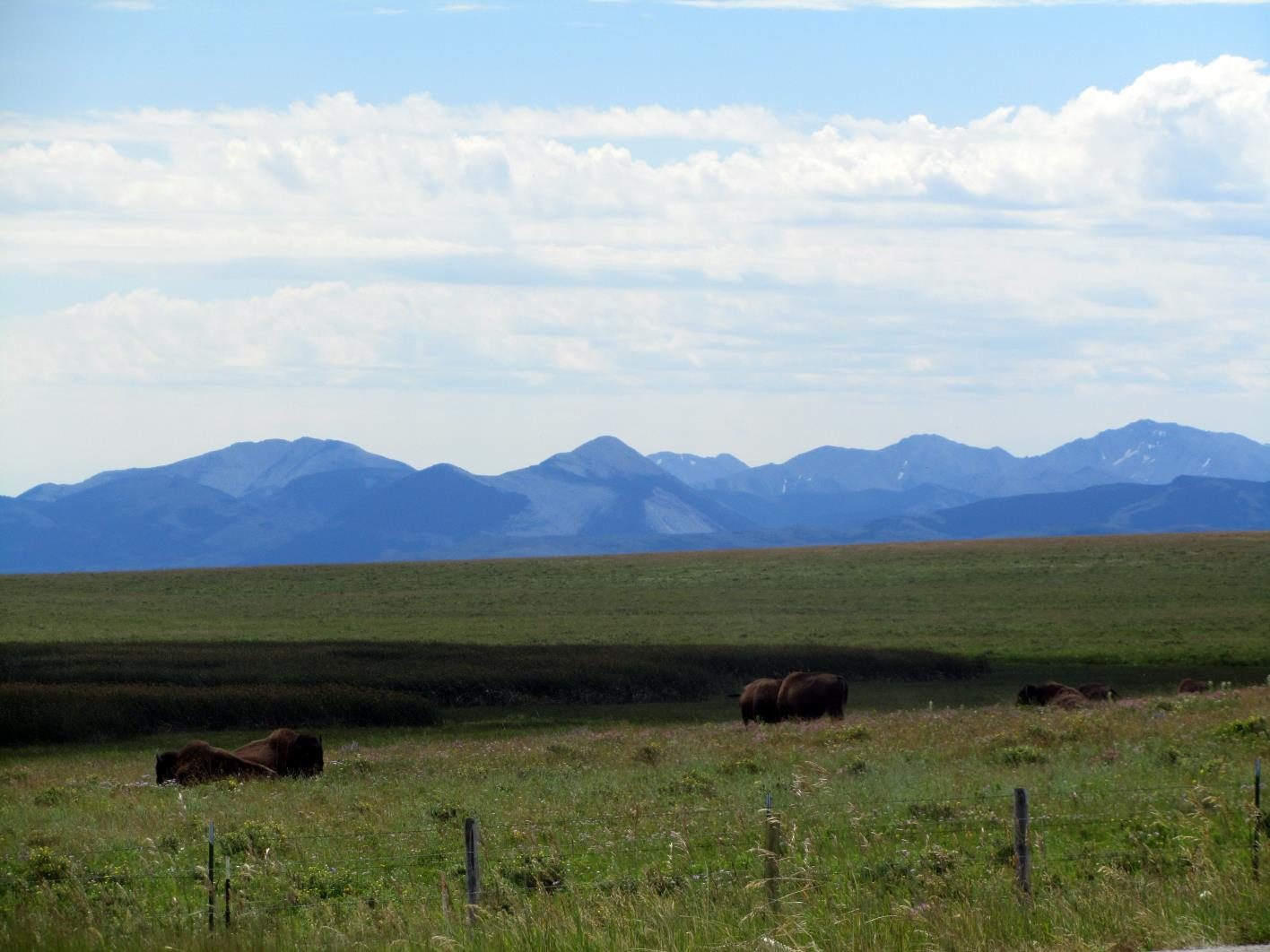 Bison near Browning, MT