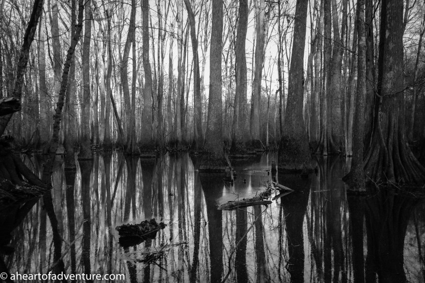 Cypress Trees in Swamp